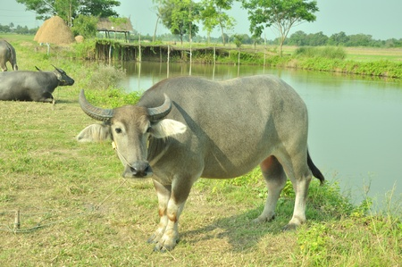 volition: Thai buffalo 3