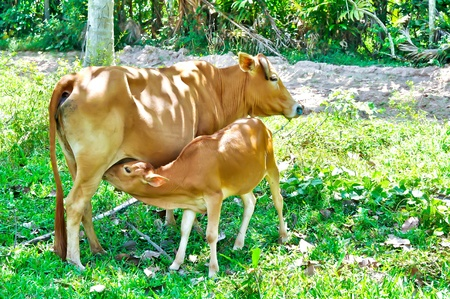 offshoot: The cow with her calf    Stock Photo