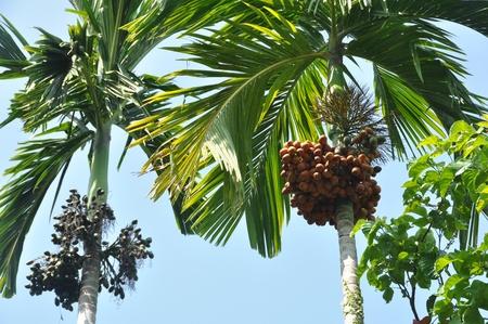 Betel tree photo