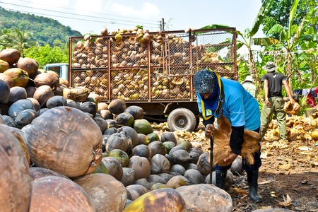 Woman coconut palm worker Stock Photo - 13436557