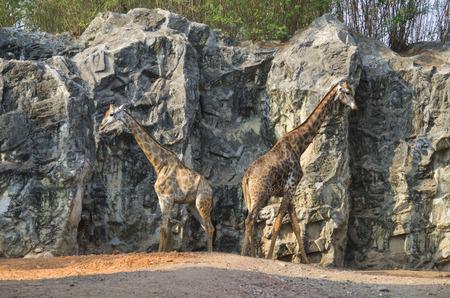 girafe: two giraffes walking in the zoo
