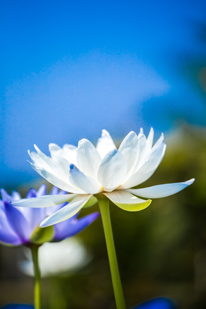 represents: White lotus represents peace, happiness and beauty  Stock Photo