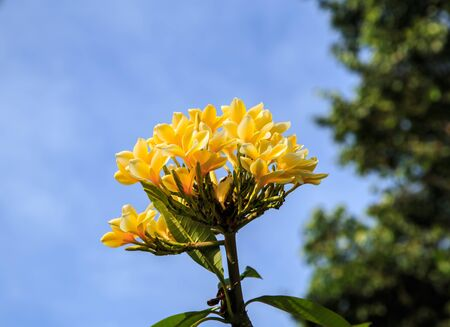 Bright yellow Frangipani with bright blue skies tease beautiful  photo