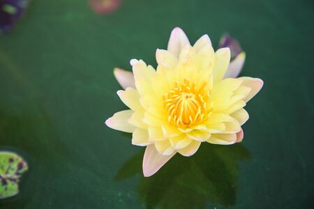 Commonly used lotus for Buddhist worship  photo