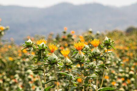 Safflower Plant - Floral delivery