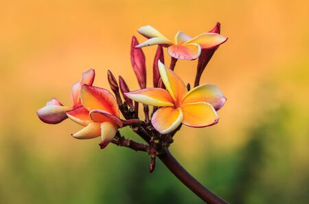 Frangipani flower has been appreciated as beautiful and charming  Stock Photo