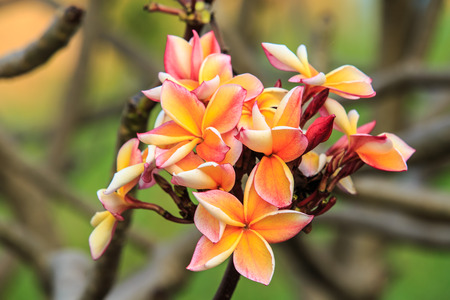 appreciated: Frangipani flower has been appreciated as beautiful and charming  Stock Photo