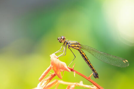 Dragonflies are perched on twigs morning  photo