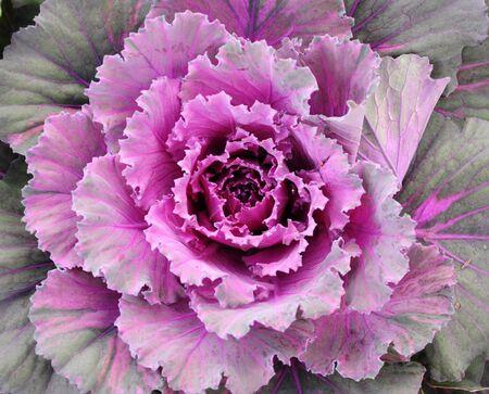 ornamental horticulture: purple ornamental cabbage close up