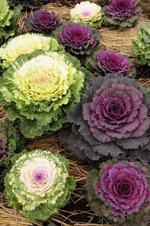 ornamental horticulture: ornamental cabbage in garden Stock Photo