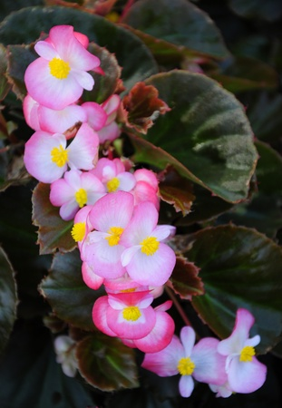 Begonia flowers with leaves photo