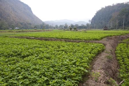 Soybean farm in Thailand photo