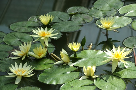 water lilly: Beautiful yellow lotus in the pond
