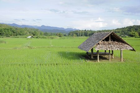 A bamboo hut in paddy fields photo