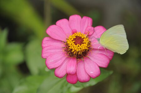 Gerbera flower and butterfly photo