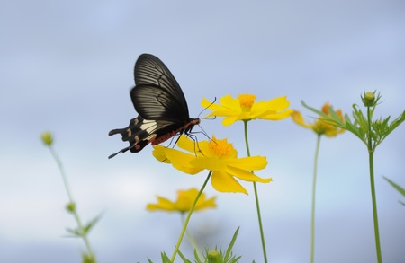 Butterfly over Cosmo flower in garden photo