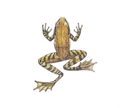Stream Frog Stock Photo - 16469154