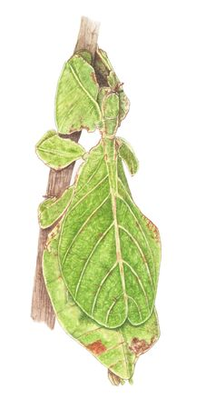 leaf insect: leaf insect painting