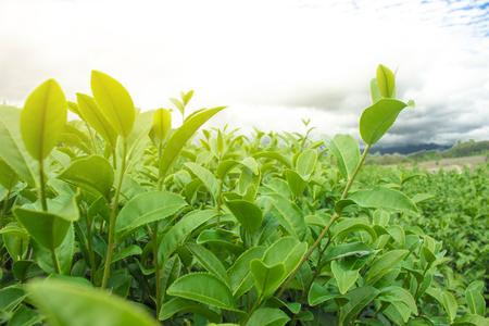 Green tea leaves in a tea plantation in morning 免版税图像