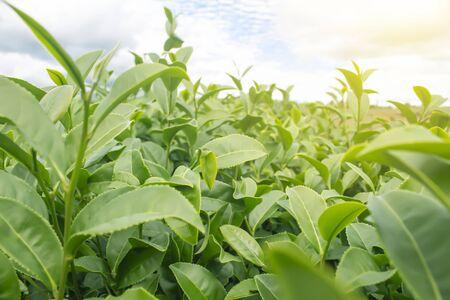 Green tea bud and leaves. 免版税图像