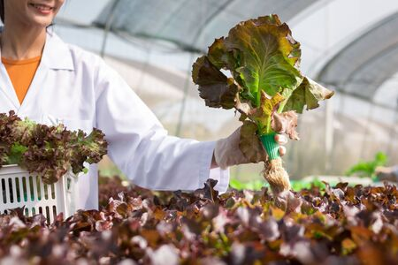 Scientist collecting hydroponic vegetables sample for analysis. Reklamní fotografie