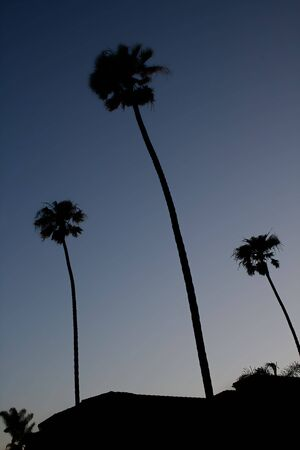 3 palm trees against an evening summer sky Фото со стока