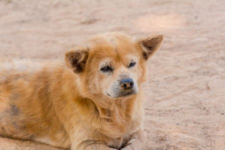 Brown retriever dog,the looking sad.