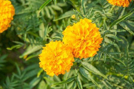 garden marigold: marigold flower in the garden.