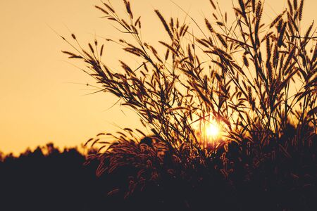 Silhouette of grass flower in sunset. Stock Photo