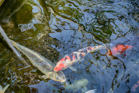 koi: Koi Carps in various colors and sizes in a fish pond.