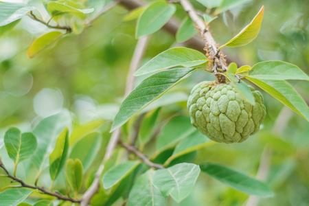 custard apple or sugar apple on the branch Stock Photo
