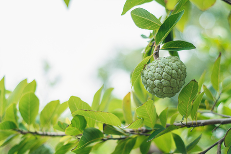 custard apple or sugar apple on the branch Stock Photo