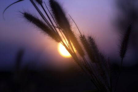 Close up of flower grass on sunset background in the evening.