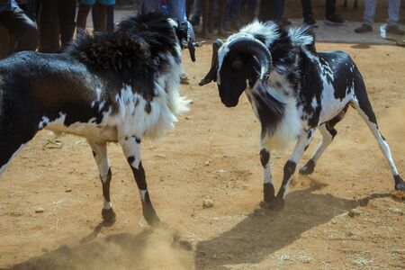 Celebration of pongal festival with goat fight game Stock Photo