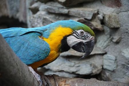 ararauna: Parrot seating at the stone wall