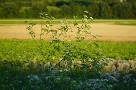 yarrow: Yarrow flowers in the field