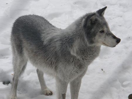 Arctic Wolf Banco de Imagens - 4982058