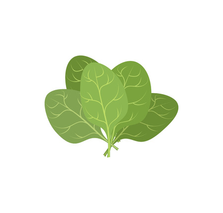 ipomoea: Spinach leaves on a white background. A bunch of green plants. Vector illustration of Veggie plants green. Illustration