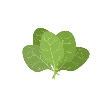 spinat: Spinatbl�tter auf einem wei�en Hintergrund. Ein B�ndel von gr�nen Pflanzen. Vektor-Illustration der Veggie Pflanzen gr�n.