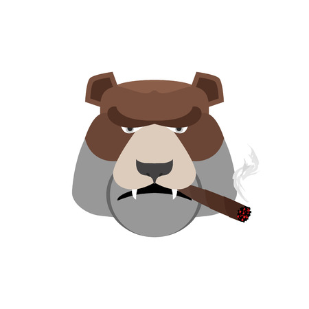 cuban culture: Angry bear with cigar. Aggressive Grizzly isolated