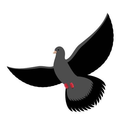 goshawk: Black dove isolated. Dark pigeon on white background. Bird flying