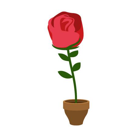 Rose in pot isolated. Home Flower. Flora on flowerpot