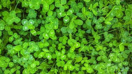 clovers: Clover texture. Green shamrock background. St. Patrick Day background.