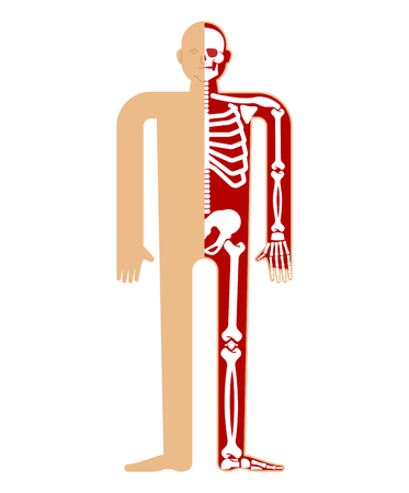Skeleton anatomy human.