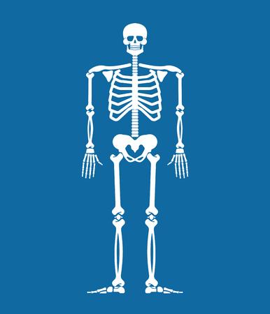 Skeleton anatomy human. Skeletal system cross section. Bones and skull. Ribs and pelvic bone. vector illustration
