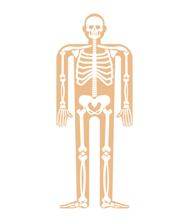 Skeleton anatomy human.