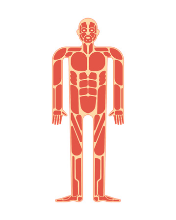 Muscular anatomy. Muscles system human body system.  Illustration
