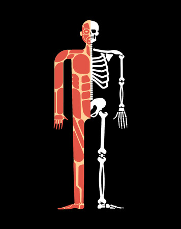 Skeletal muscle system. Skeleton and Muscular anatomy. Bones and muscles system human body  Vectores