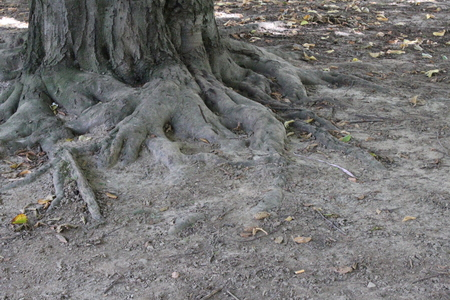 strong roots: Strong tree roots