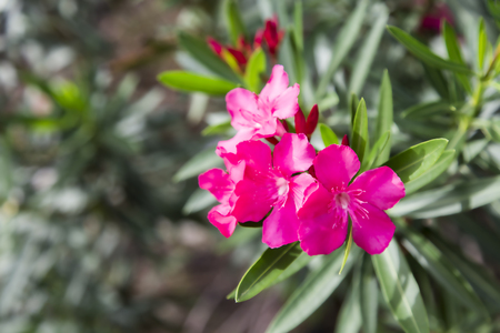 Pink oleander is blooming beautiful. Stock Photo